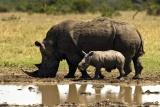 Rhino and calf, Laikipia