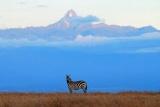 Zebra framed by Mt Kenya, near Kicheche Laikipai Safari Lodge