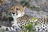 Hwange cheetah