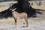 Hwange roan antelope